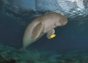 Two Oceans Fourth Edition-Struik Nature-Dugong-min