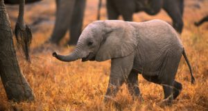 Baby elephant-SANParks Honorary Rangers