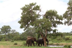 Elephants Alive research-Bulls at the water hole-Harriet Nimmo