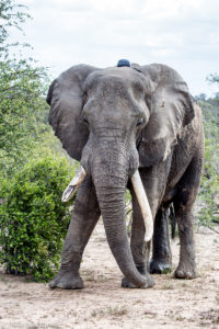 Elephants Alive research-Collared bull Classic-Harriet Nimmo