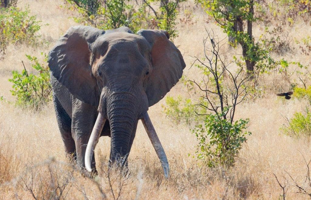 Twelve new emerging tuskers named in the Kruger