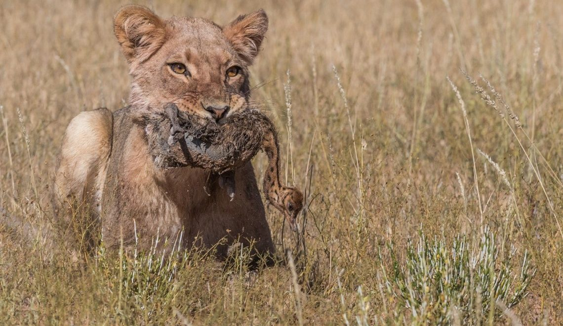 Single chick not enough for Kgalagadi lioness