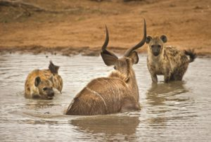 Spotted hyenas and kudu-Albie Venter-min
