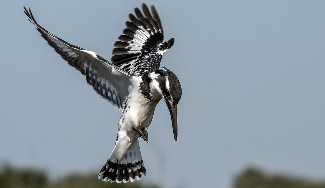 Pied kingfisher hunt a dream come true