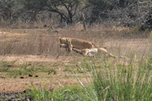 Kruger lion and giraffe hunt-Leeupan-Anja Kruger-12-min