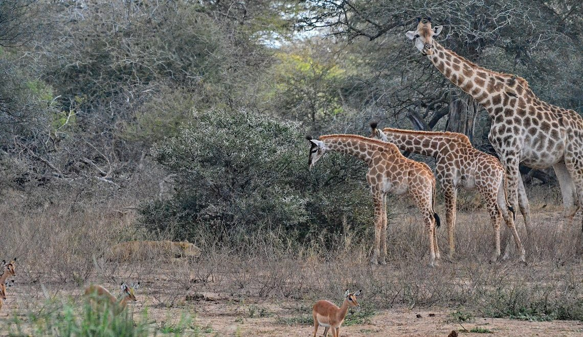 Lone Kruger lioness targets young giraffe