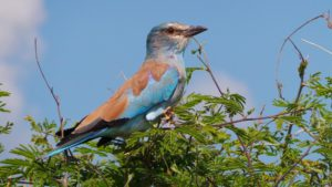 lilac-breasted-roller-pixabay-min
