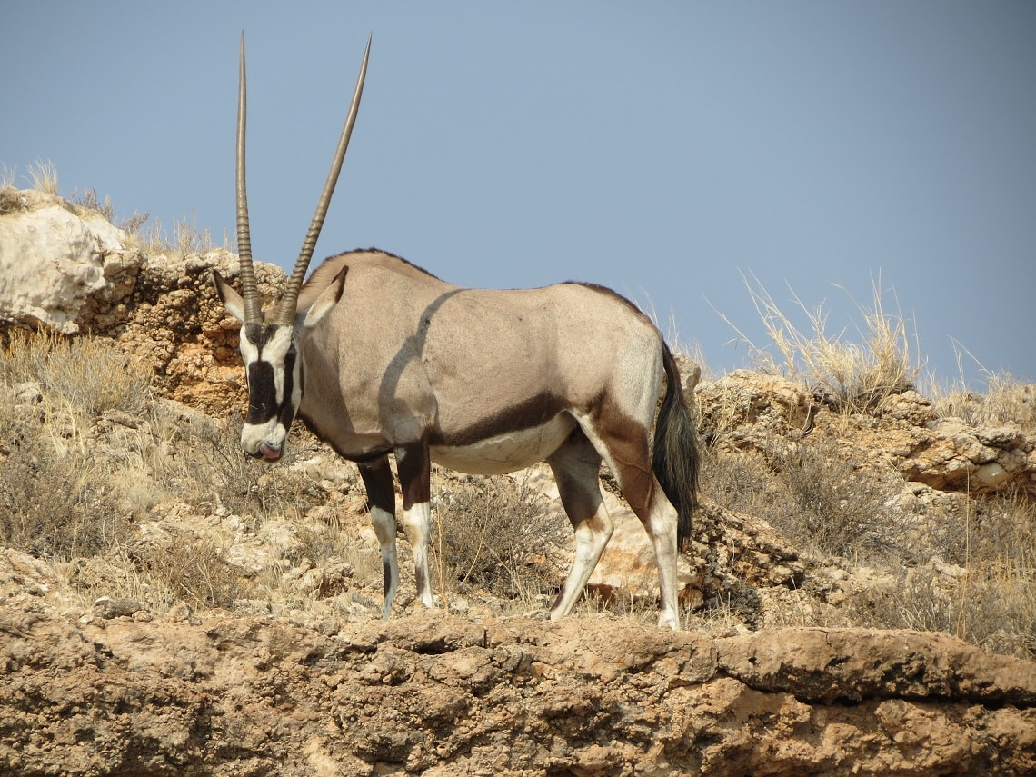 In the southern part of the Kalahari, 32% of gemsbok fall prey to lions, and 52% to spotted hyenas.