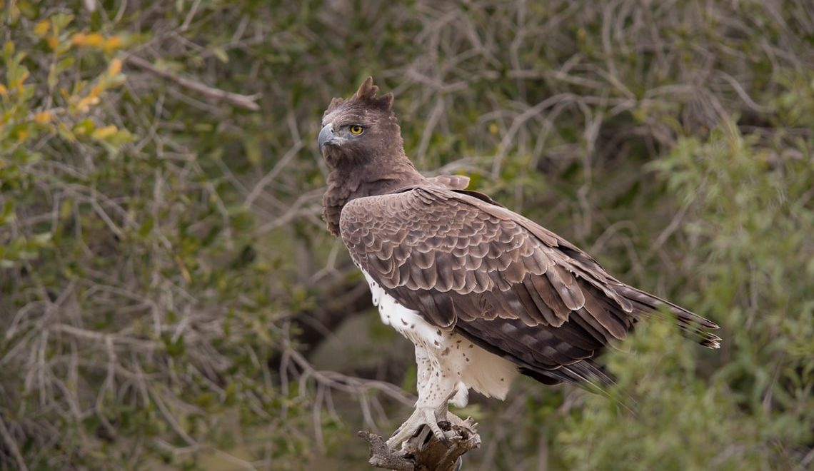 Mesmerising sighting of martial eagles mating