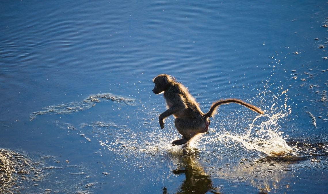 Baboon-Letaba-River-Kruger-Rob Smith-2-min