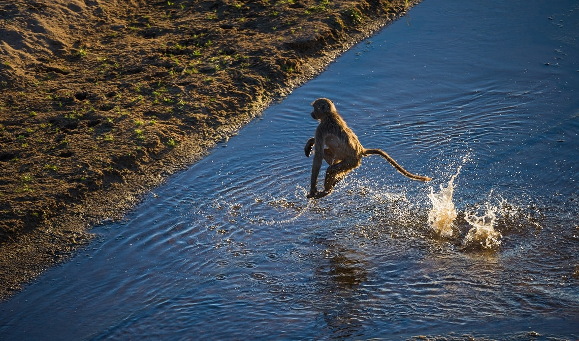 Baboon-Letaba-River-Kruger-Rob Smith-5-min