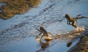 Baboon-Letaba-River-Kruger-Rob Smith-7-min