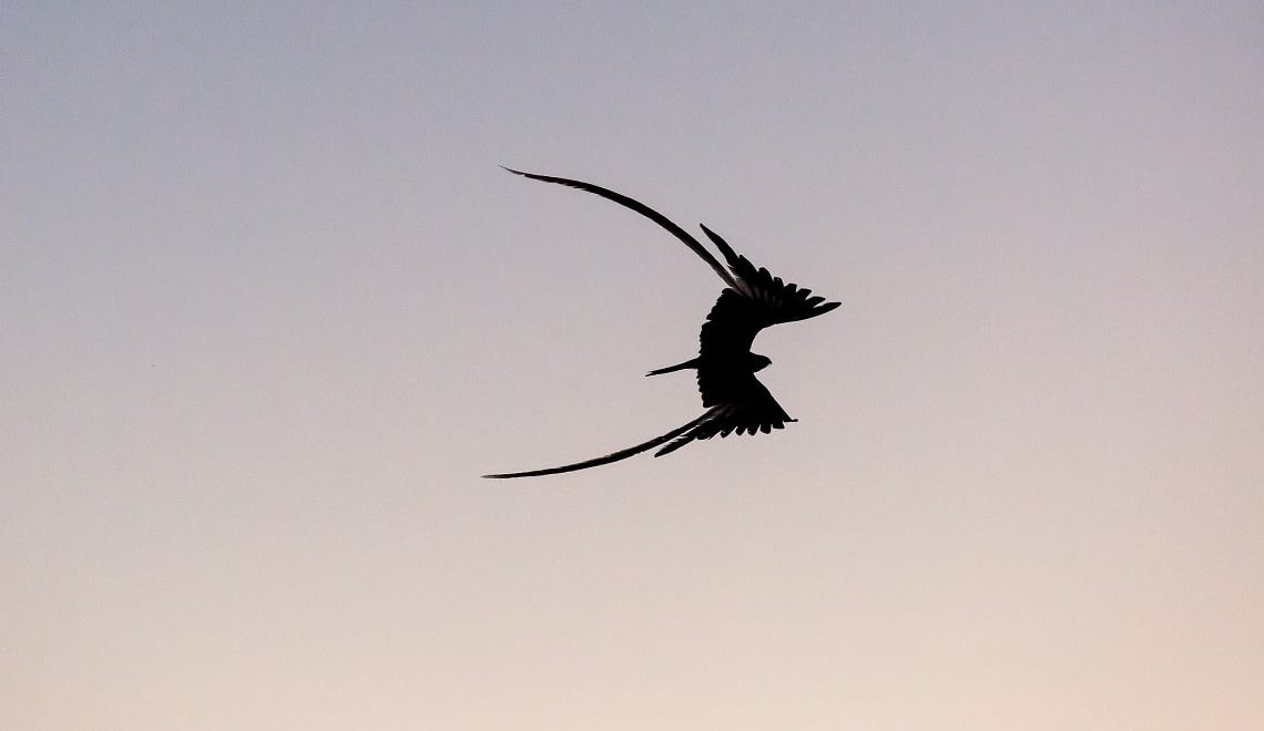 Your chance to spot the pennant-winged nightjar