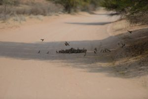 Sociable weavers-finch-kgalagadi-Jaco Powell-1-min