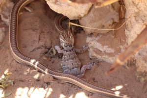 Fork-marked sand snakes-Nossob-Soo Stroud-1-min