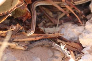 Fork-marked sand snakes-Nossob-Soo Stroud-3-min