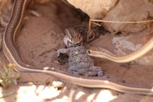 Fork-marked sand snakes-Nossob-Soo Stroud-4-min