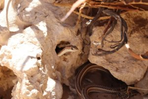 Fork-marked sand snakes-Nossob-Soo Stroud-6-min