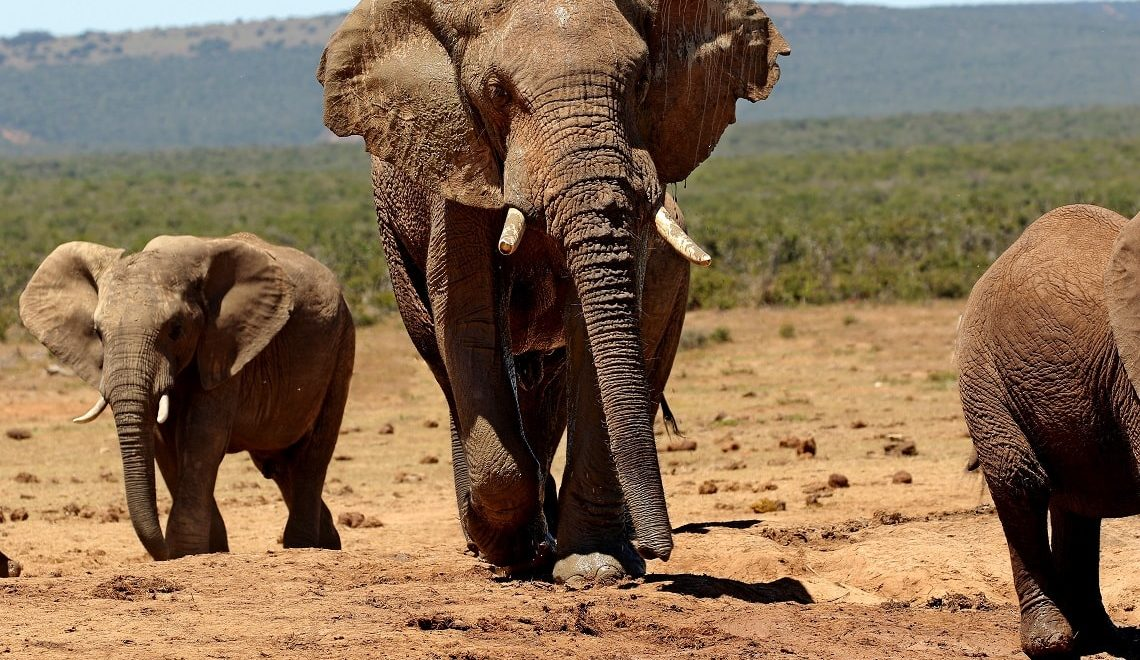 Addo ellie takes comical nosedive