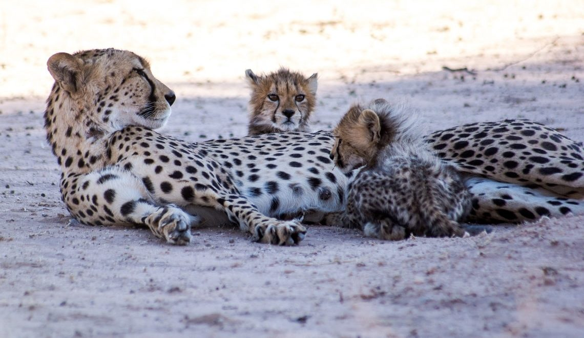 Adorable cheetah cubs stick close to mom