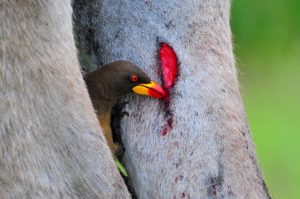 Yellow-billed oxpecker-Kruger-Ian White (4)-min