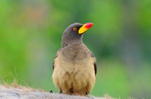 Yellow-billed oxpecker-Kruger-Ian White (6)-min