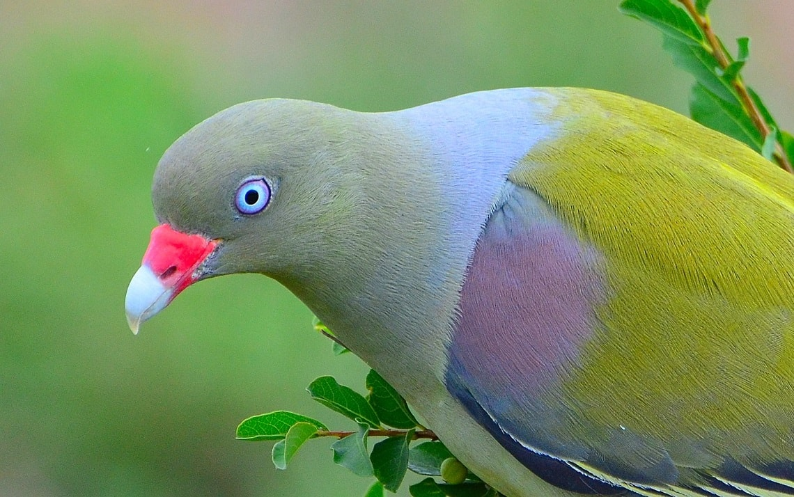 African green pigeon-Paolo Giovanni Cortelazzo-Kruger (1)-min