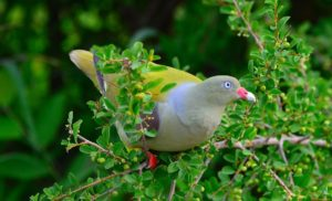 African green pigeon-Paolo Giovanni Cortelazzo-Kruger (2)-min