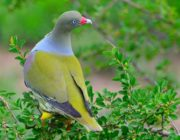 African green pigeon-Paolo Giovanni Cortelazzo-Kruger (5)-min