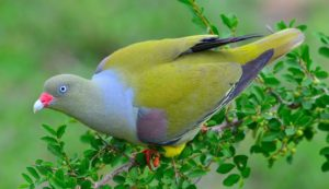 African green pigeon-Paolo Giovanni Cortelazzo-Kruger (6)-min
