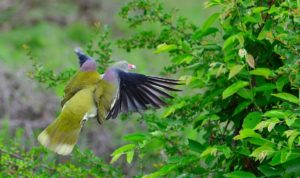 African green pigeon-Paolo Giovanni Cortelazzo-Kruger (7)-min