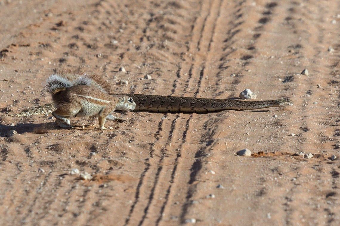 Kgalagadi-puff adder-squirrel-Mike Miles (11)-min