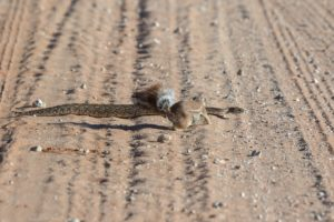 Kgalagadi-puff adder-squirrel-Mike Miles (15)-min