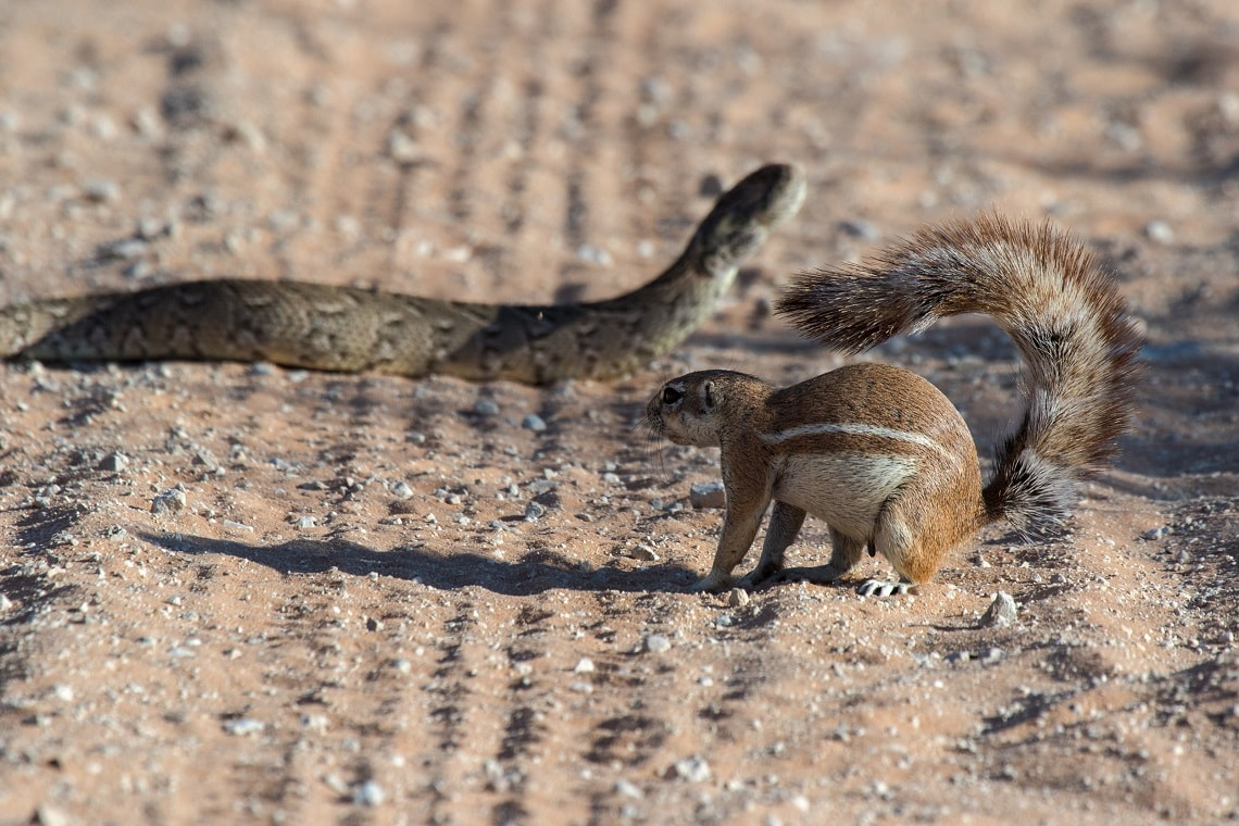 Kgalagadi-puff adder-squirrel-Mike Miles (4)-min
