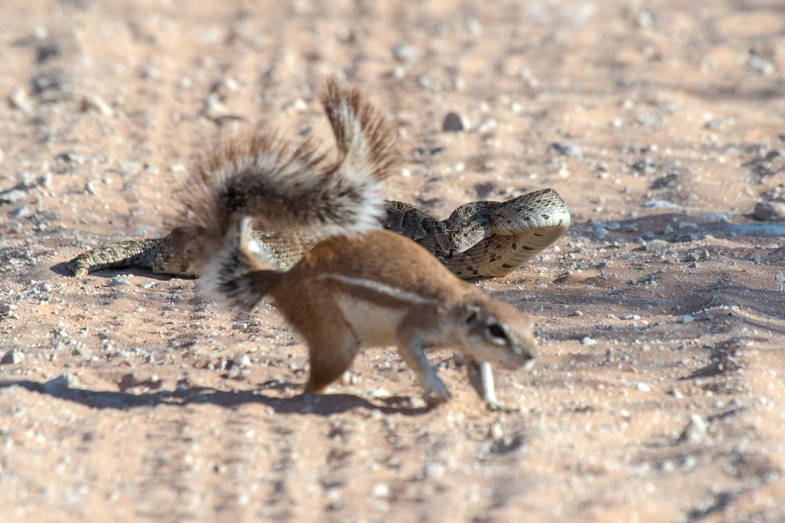 Kgalagadi-puff adder-squirrel-Mike Miles (6)-min