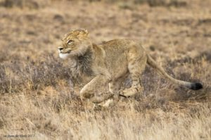 Mountain Zebra National Park-lion figh-Jacques de Klerk (2)-min
