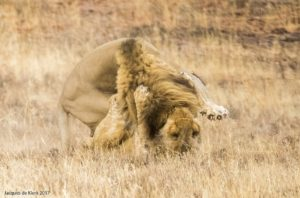 Mountain Zebra National Park-lion figh-Jacques de Klerk (5)-min