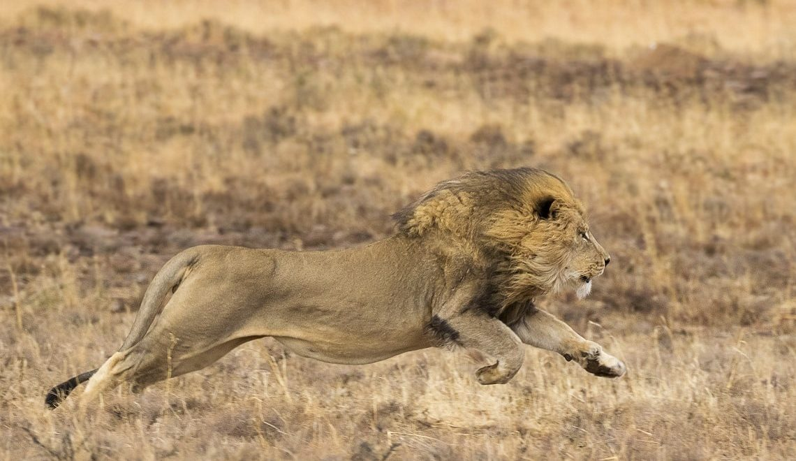 Magnificent male lion sees off a young rival
