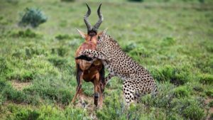 Cheetah-red hartebeest-Mountain Zebra-Gerhard Geldenhuys (12)-min