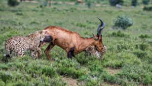Cheetah-red hartebeest-Mountain Zebra-Gerhard Geldenhuys (15)-min