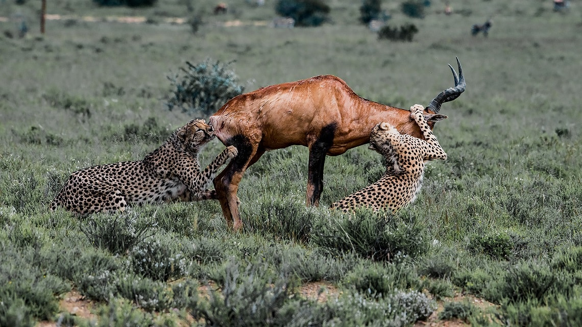 Cheetah-red hartebeest-Mountain Zebra-Gerhard Geldenhuys (17)-min