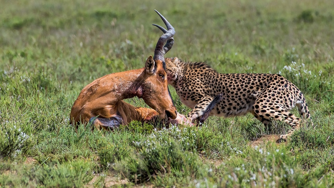 Cheetah-red hartebeest-Mountain Zebra-Gerhard Geldenhuys (3)-min