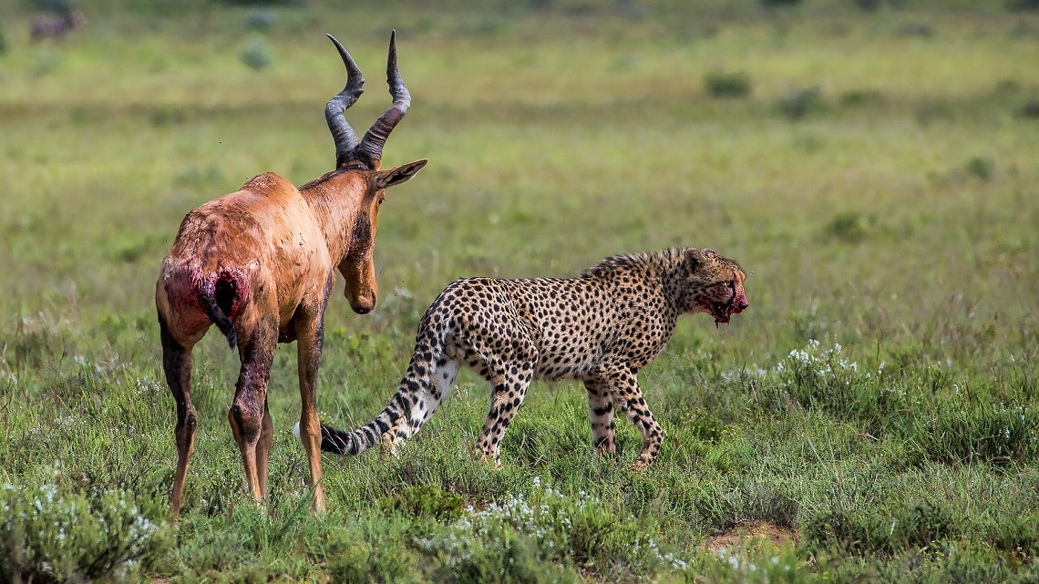 Cheetah-red hartebeest-Mountain Zebra-Gerhard Geldenhuys (4)-min