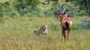 Cheetah-red hartebeest-Mountain Zebra-Gerhard Geldenhuys (9)-min
