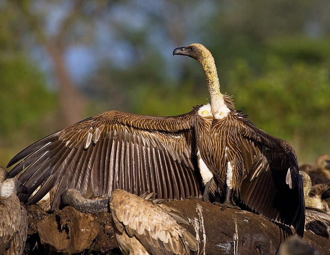African White-backed Vulture-Andre Botha-min
