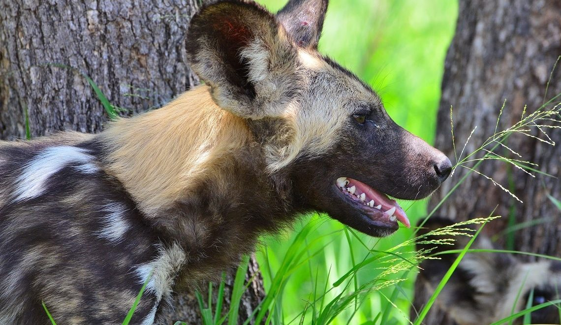 Win a Kruger experience to collar wild dogs with Vodacom Red