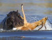 When an impala braves a hippo infested river… Picture by Hannes Lochner