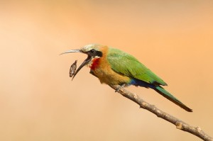 White-fronted bee-eater by Jan van Wyk