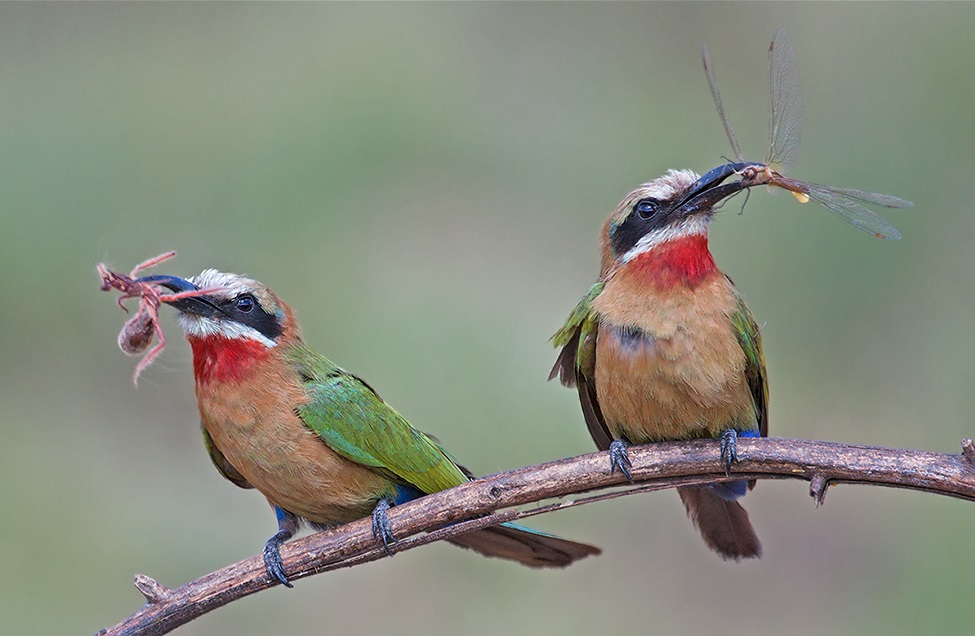 Do bee-eaters feast only on bees?
