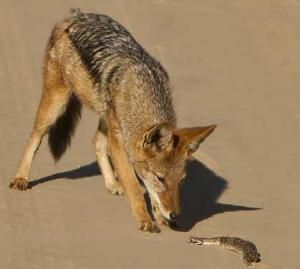 Jackal vs puff adder
